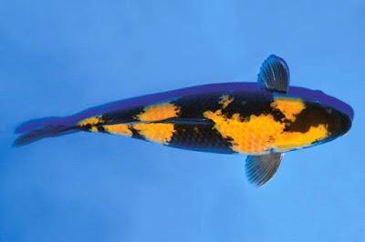 Ikan Koi Ki Bekko