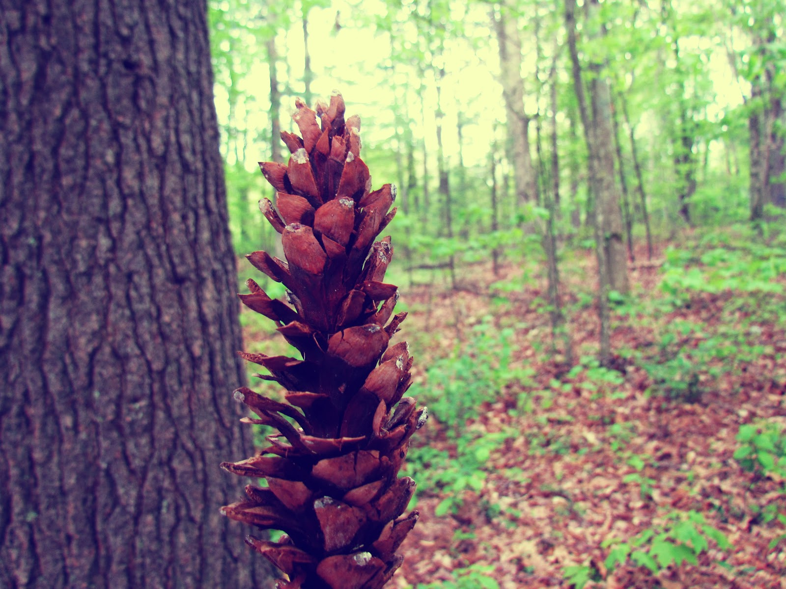 A woman holding a pine cone in the woods of New England after a summer rainstorm in mother nature