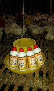 mempercepat pertumbuhan ayam broiler, mempercepat bobot ayam broiler