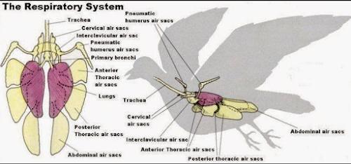 organ pernafasan pada hewan burung