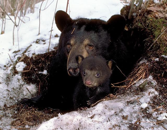 gấu mẹ rất hung dữ bảo vệ con chúng