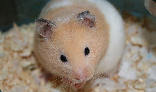 cuanto cuesta un hamster sirio