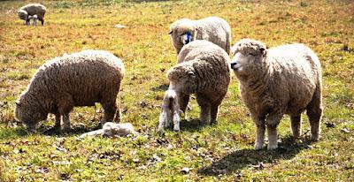 Scoperto segreto capelli ricci nelle pecore Merino