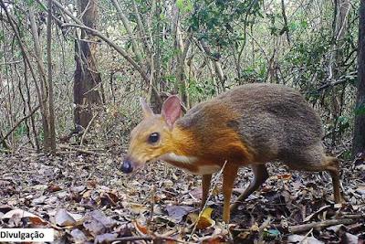 rato cervo do vietnã, Tragulus versicolor, cervo rato do vietnã, animal é redescoberto na natureza, vietnã,  silver-backed chevrotain, chevrotain, Vietnam mouse-deer, animais em extinção, natureza