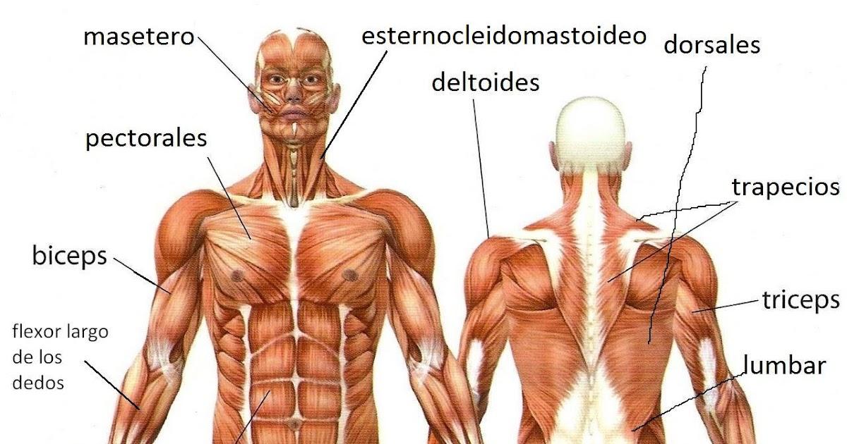 Lujoso Foto De Los Músculos Del Cuerpo Ornamento - Anatomía de Las ...