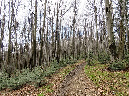 Bukowy las z młodymi świerkami.