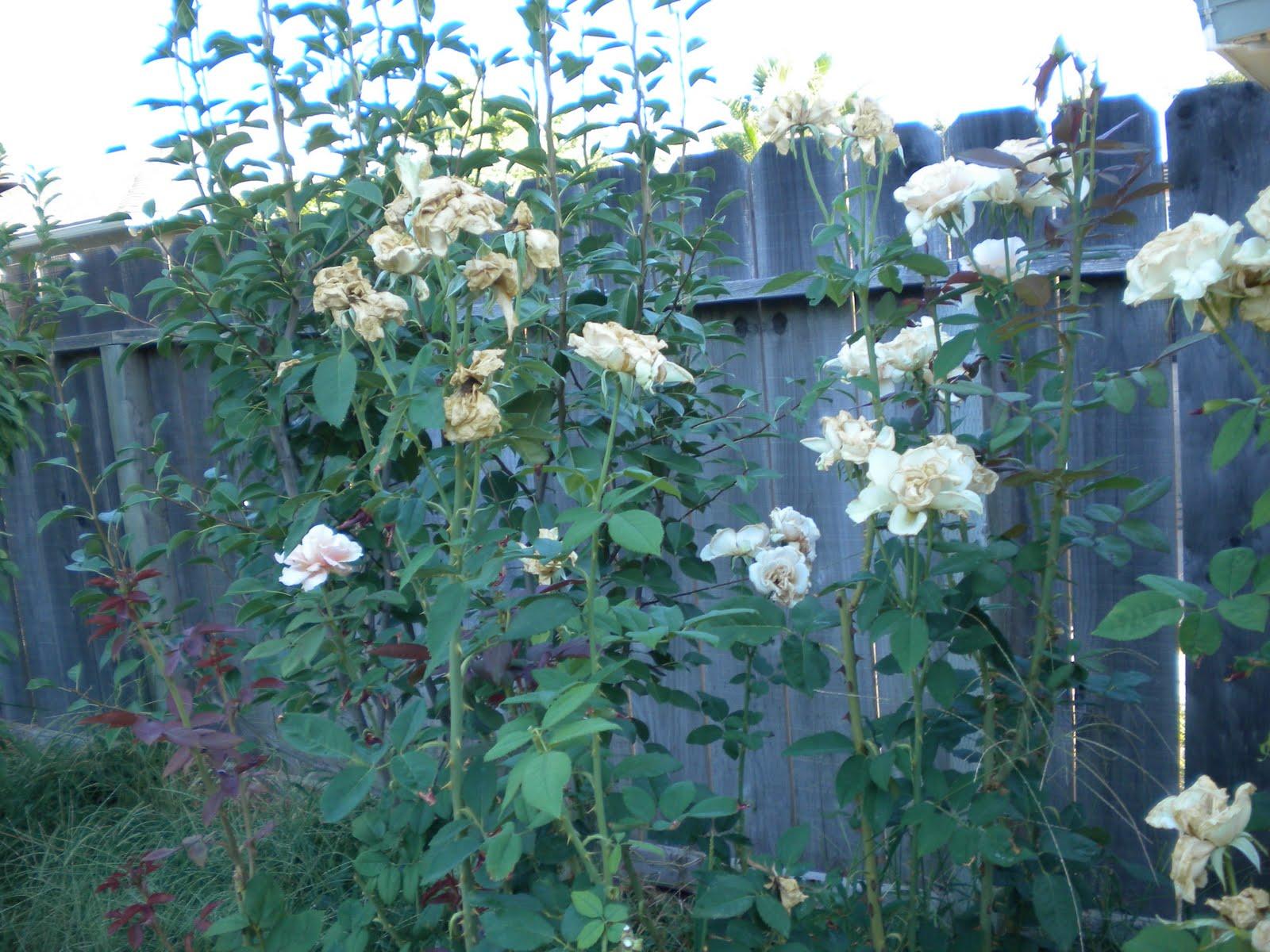 Tending The Veggies Fall Rose Care