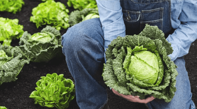 Cabbage: The Versatile Cancer-Fighting Health Food