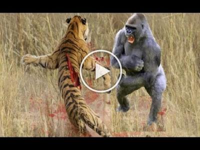 VIDEO: TIGER vs GORILLA ► Lion Vs Python - Anaconda Swallows Python Alive!! - Real Fight!! [DOWNLOAD]