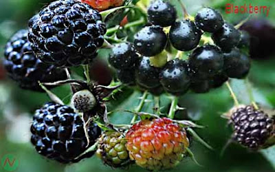 blackberry fruit; blackberry
