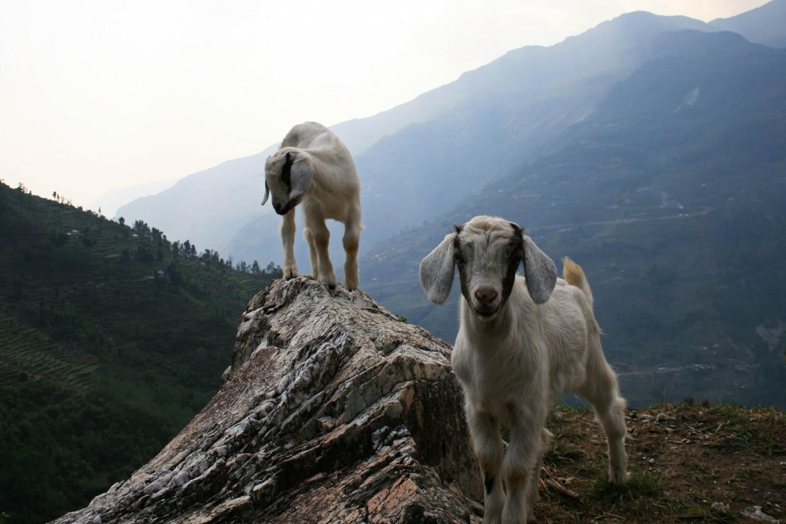 mountain-goats-nepal