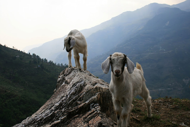mountain-goats-nepal