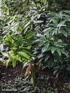 zdjęcie drzewka mango