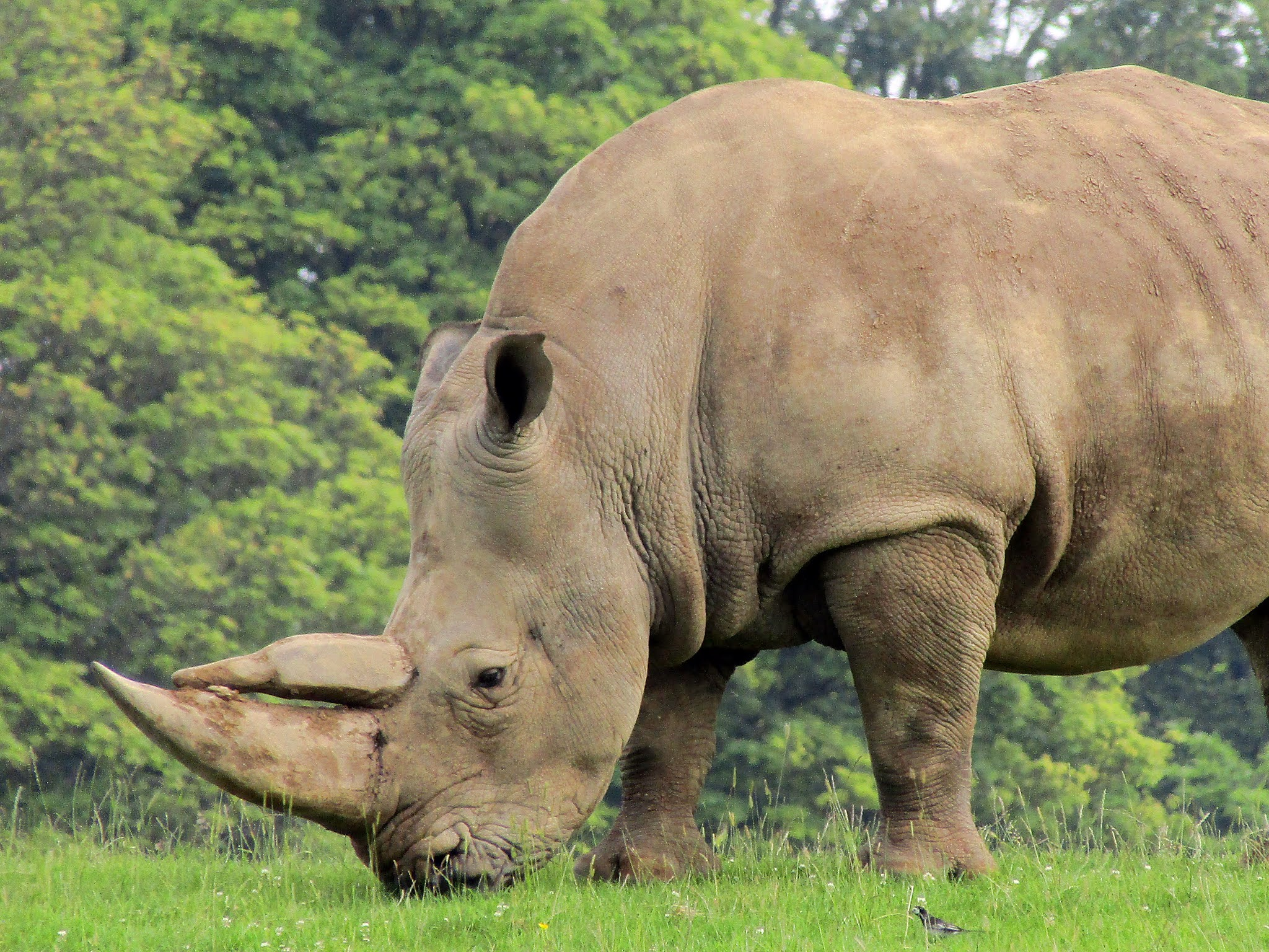A photo of a white rhino grazing at Whipsnade Zoo.