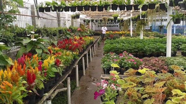Los-Los Pedagang Bunga di Kopeng