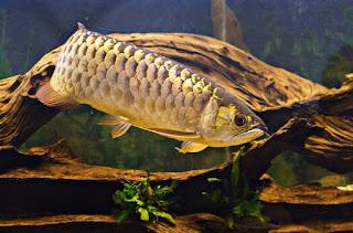 Cara Budidaya Ikan Arwana yang baik dan benar