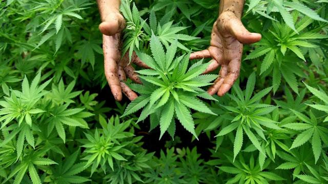 México importará mariguana a pesar de ser uno de los principales productores en el mundo