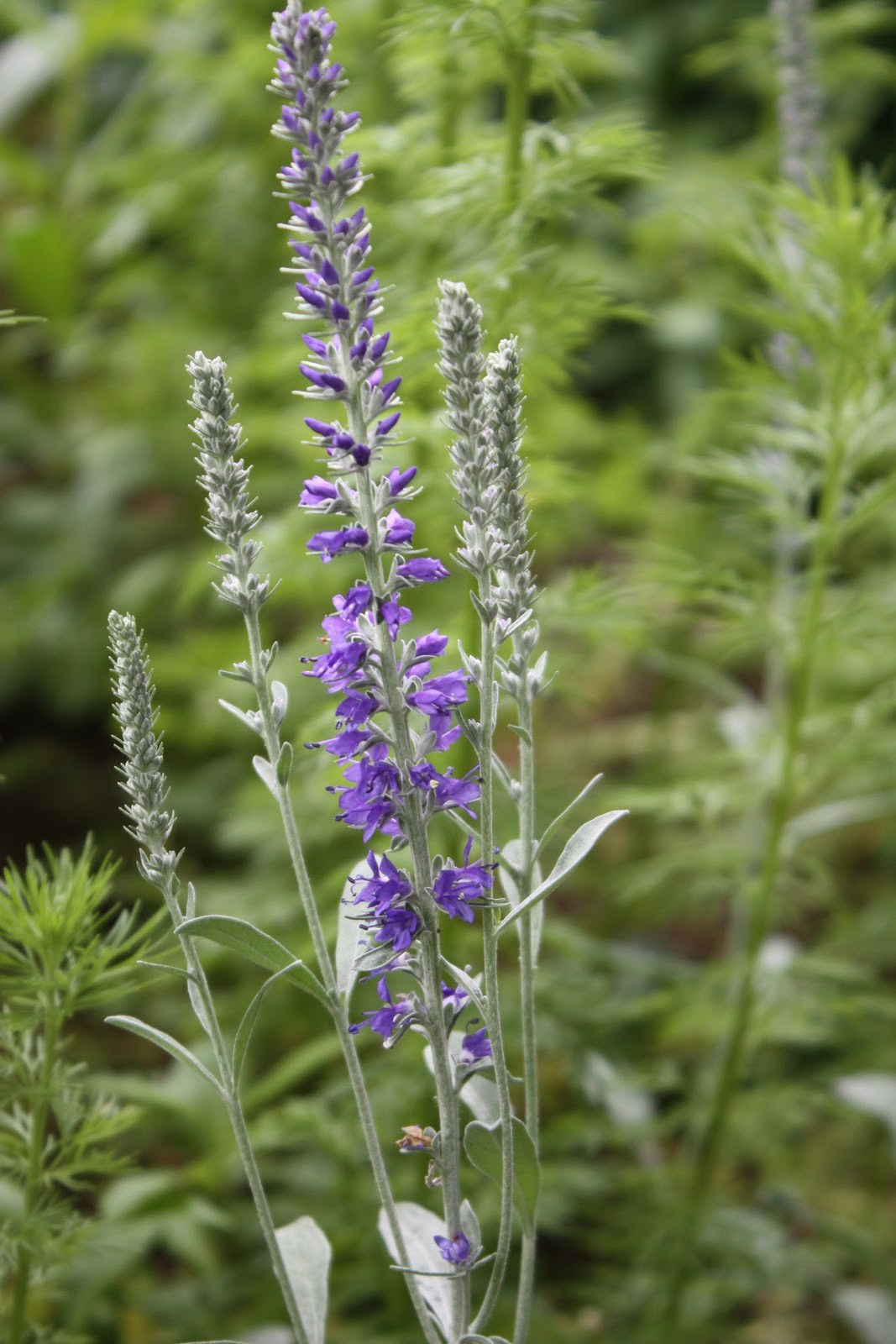 Veronica Speedwell Plant Seeds And Divide Plants Now