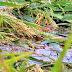 வெள்ள நீர் வடிந்தோடாமையினால் நெற்பயிர்கள் அழுகிவிடும் அபாயம்