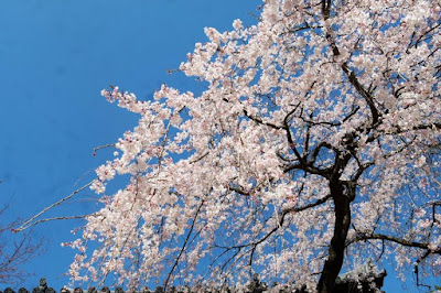 Blooming white sakura flowers in Japan