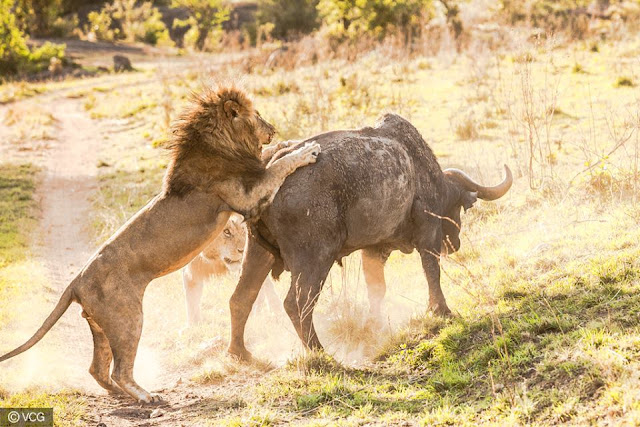 Two male lions took down a large buffalo in Serengeti Africa