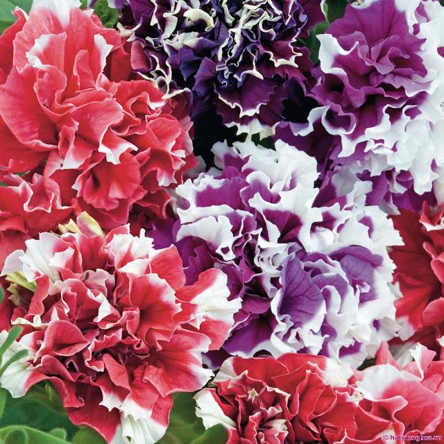 cây hoa dạ yến thảo kép