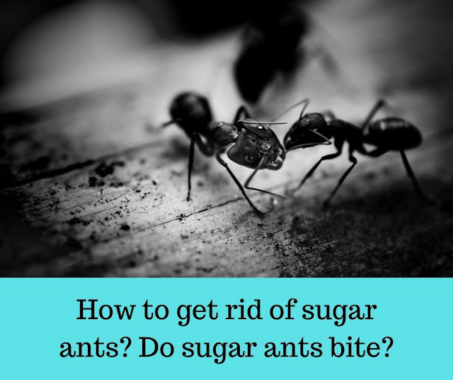 How to get rid of sugar ants? Do sugar ants bite?
