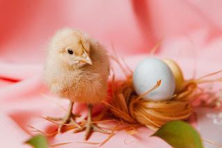 Fakta Telur: Makan Telur Ayam, Bukan Berarti Memakan Ayam