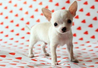 كلب شيواوا صغير