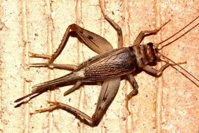 Some Information on Crickets