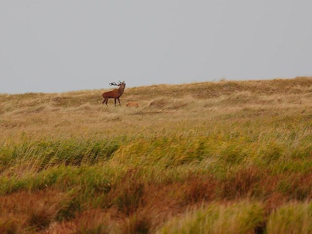 Röhrender Hirsch darß ostsee