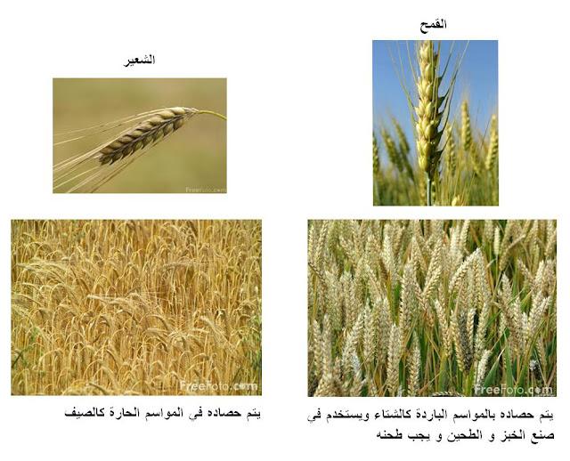 بالصور الفرق القمح الشعير