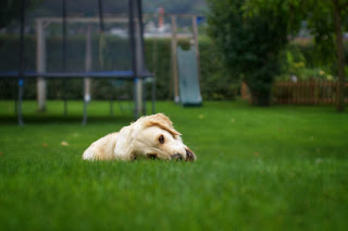 A white dog lying on a bright green lawn.