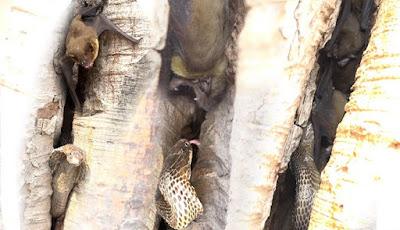 Ular kobra vs kelelawar