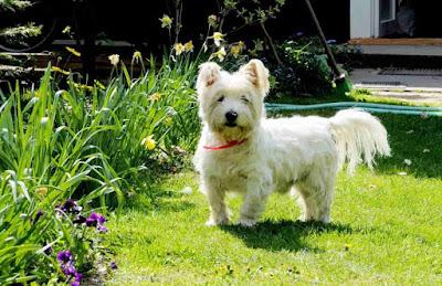 white dog breeds, small white dog