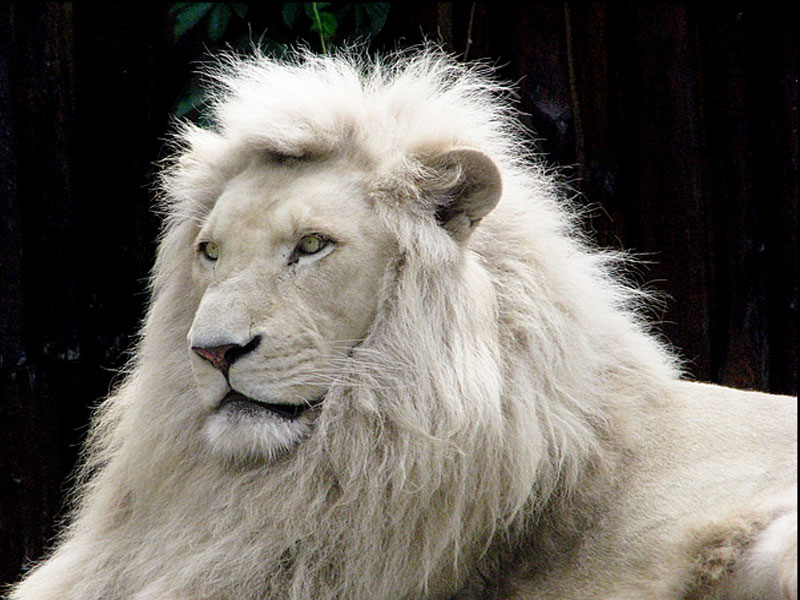 wallpapers download white lion desktop wallpapers 2012 download free. Black Bedroom Furniture Sets. Home Design Ideas
