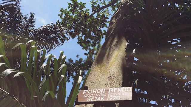 Salah satu tanaman yang ada di Taman Botani Sukorambi dan usianya sudah sangat tua