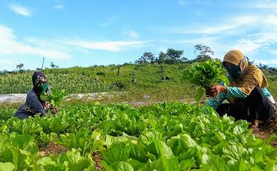 Sulap Agroforestri, Petani Tebo Nikmati Tanaman Holtikultura