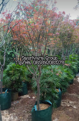 Pohon Japanese Red Maple  tree