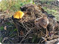 Gymnopilus junonius (Splendid rustgill) on burnt conifer wood.