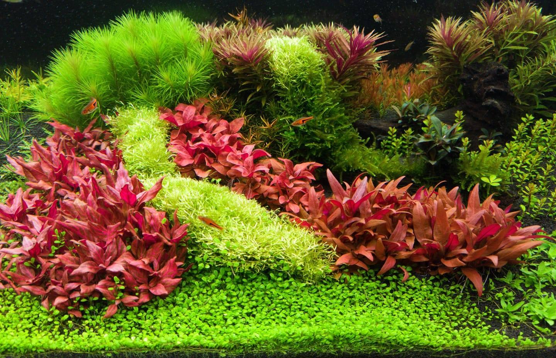 Rêu Ricca trong một bể thủy sinh tuyệt đẹp