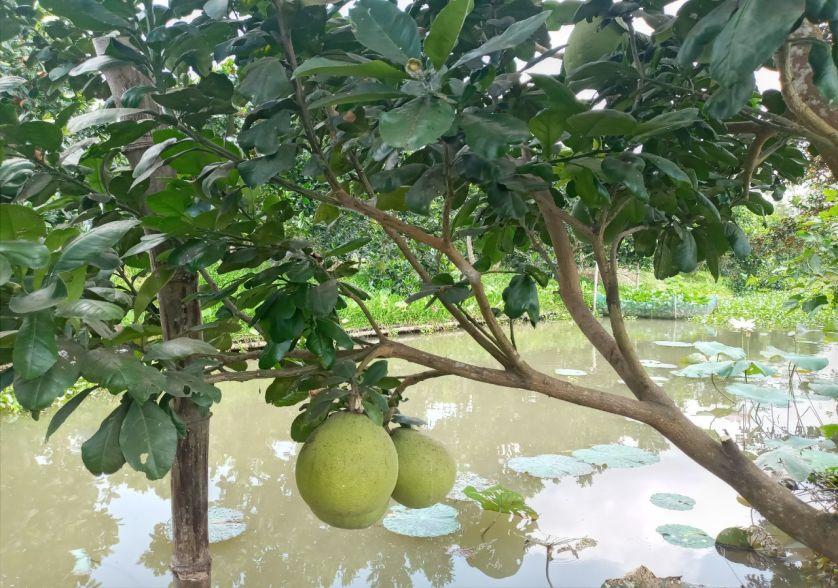 Vườn trái cây cồn Sơn
