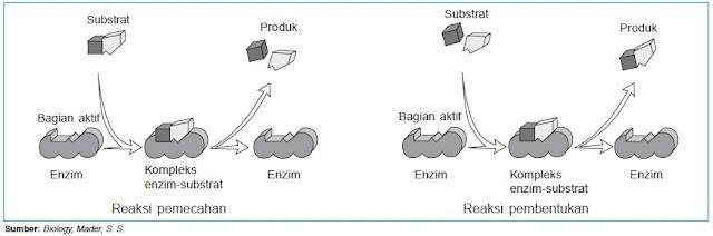 Kerja enzim bersifat bolak-balik (reversibel)