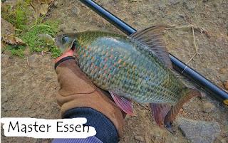 Essen Ikan Nilem Khusus Indukan