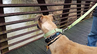 Dog looking through the metal edge of a bridge