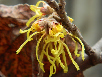 "Hamamelis x intermedia ""Arnold Promise"" witch hazel flowers unfurling by garden muses: a Toronto gardening blog"