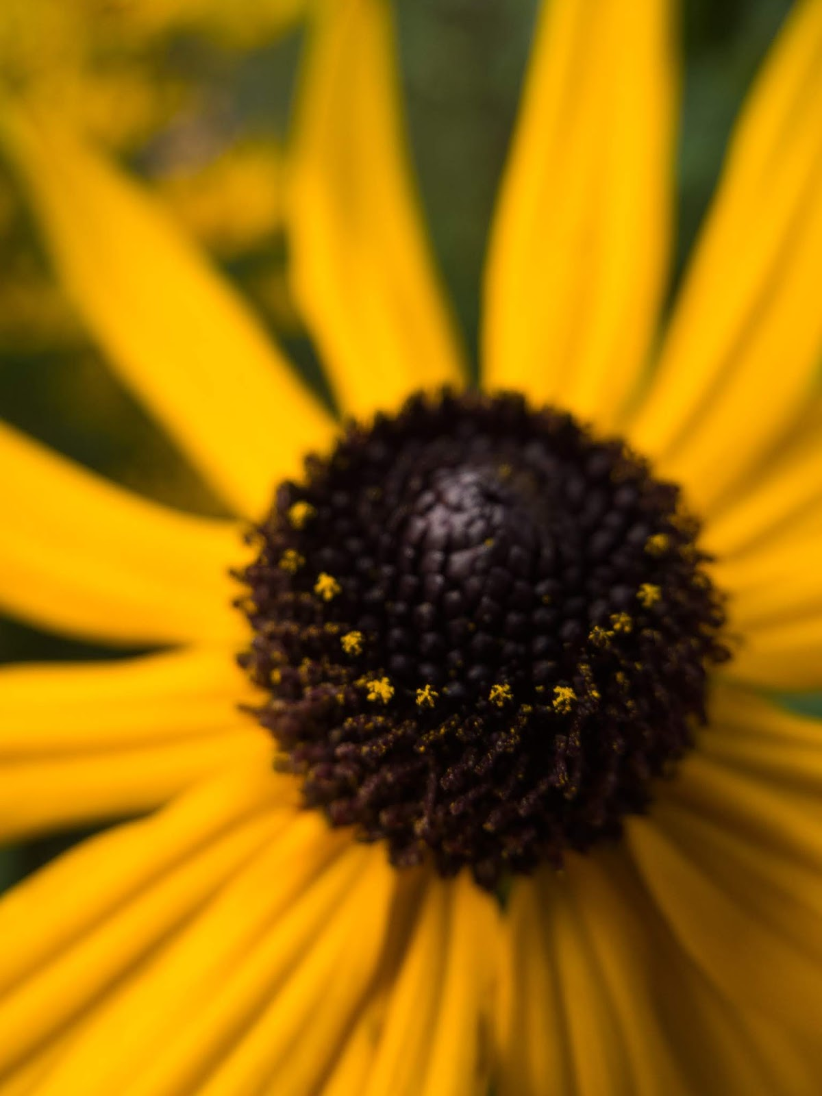A macro of the centre of a Black Eyed Susan flower.