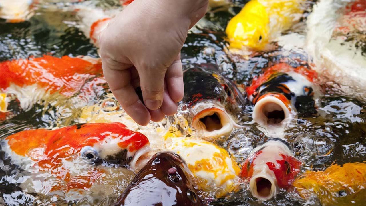 Ini Dia Jenis Makanan Dan Cara Pemberian Makanan Ikan Koi Yang Bagus