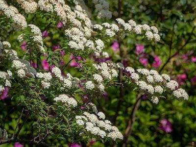 Kodemari (Spiraea cantoniensis) flowers: Kaizo-ji
