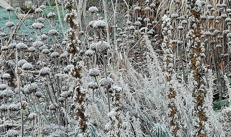 Brandkraut gibt dem Garten Struktur im Winter